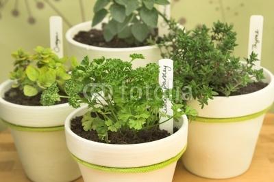 Руккола в домашних условиях выращивание