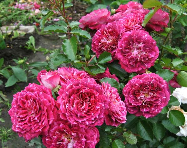 Цветы розы флорибунды 19