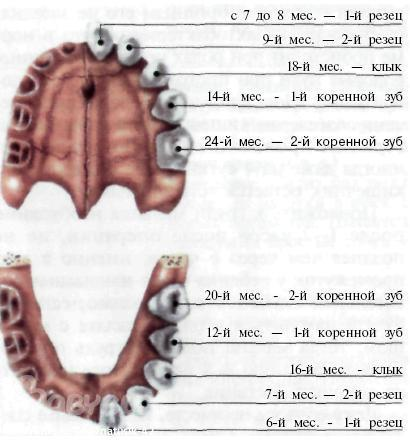 Режутся коренные зубы понос и красная попа