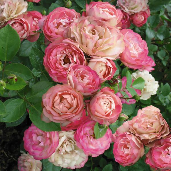 Необычные розы фото при сэксе фото 93-102