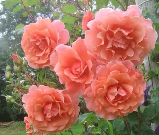 Плетистые розы желтого цвета 6