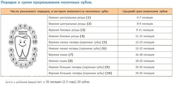сроки прорезывания таблица