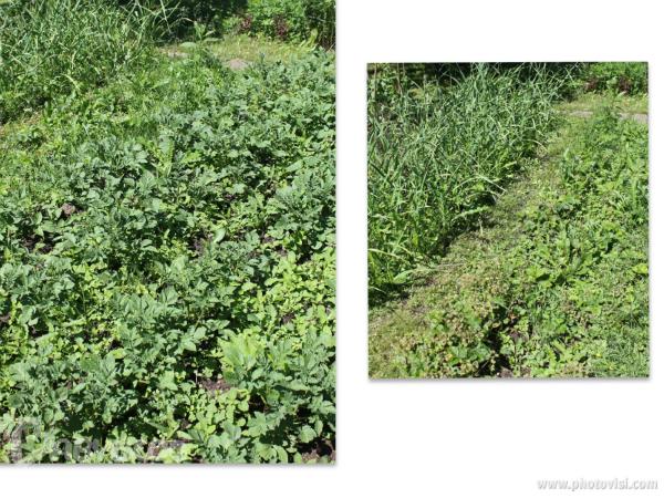 Трава на огороде