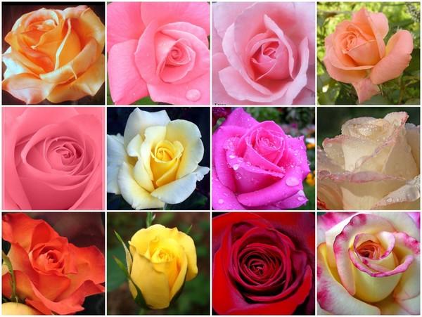 Картинки по запросу розы ассортимент
