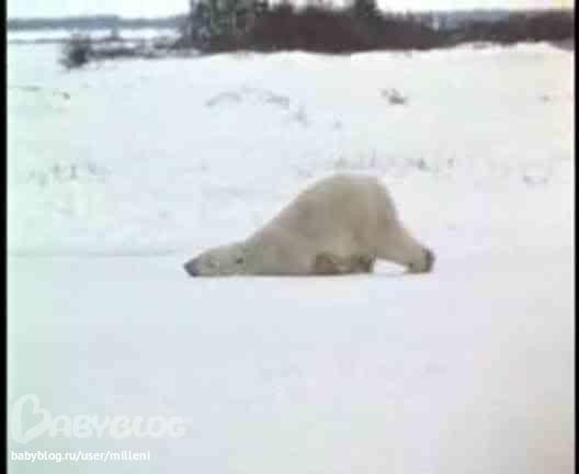 белый медведь ползет видео