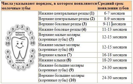 Схема прорезывания зубов.