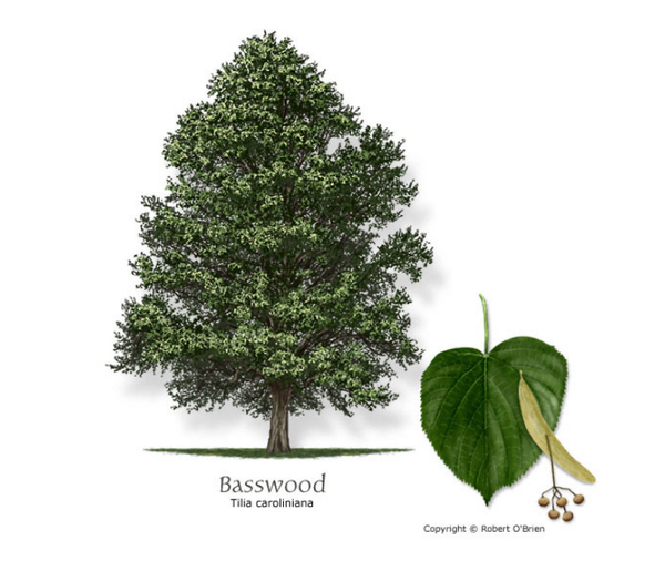 картинки дерева липа
